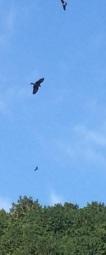 bird of prey (3)