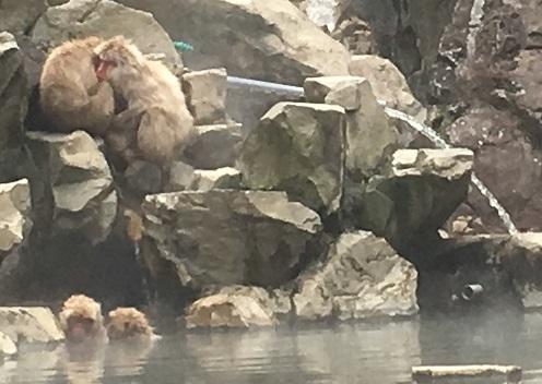 jigokudani, monkey's onsen.