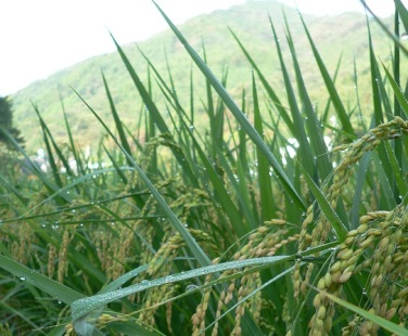 rice.field