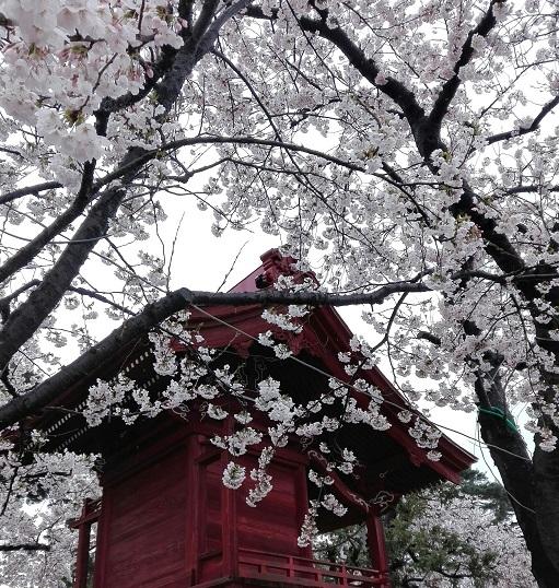 beginn sakura, matsumoto castle (3)
