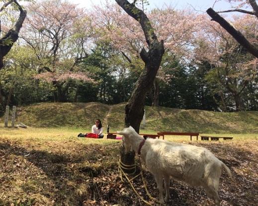 kamizoroi yama, hanami (1)