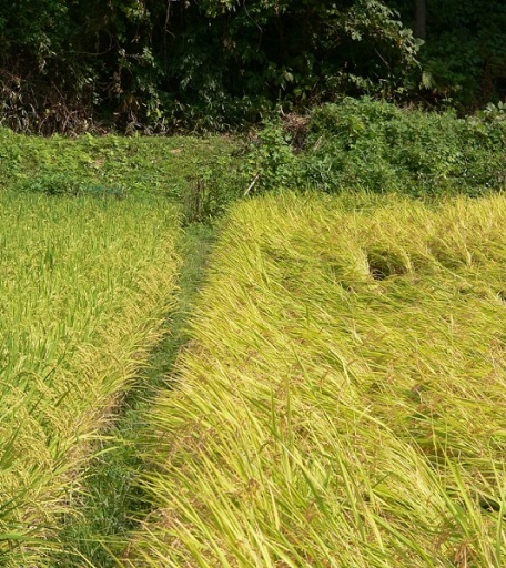 at rice fields (4)