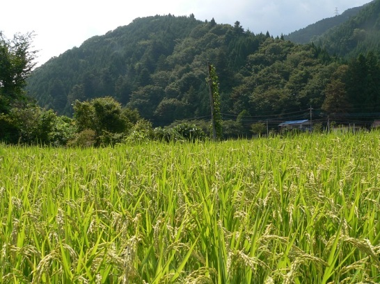 at rice fields (5)