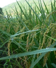 at rice fields (6.2)