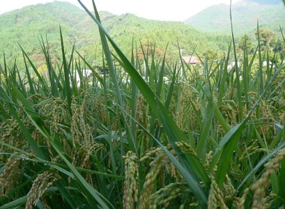 at rice fields (6)