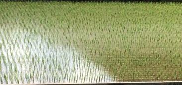 rice field (2)