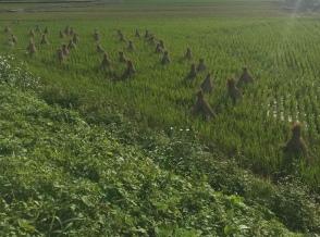 rice field Yokohama