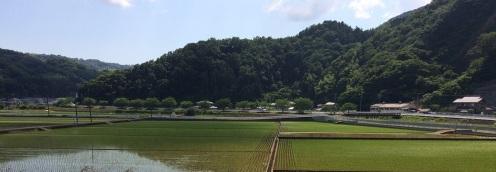 rice fields (2)